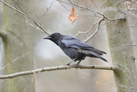 Carrion Crow (Corvus corone) sitting on a bough, Bavaria, Germany