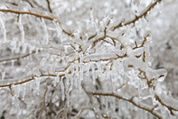 Close-up of ice storm damage to bush in Toronto, Ontario, Canada