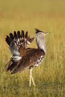 Male Kori Bustard (Ardeotis kori), Masai Mara National Reserve, Kenya