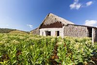 Tobacco Field and Tobacco Barn, Vinales National Park, Pinar del Rio Province, Cuba