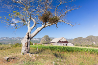 Epiphytes in Leafless Tree by Tobacco Field and Tobacco Barn in front of Mogotes Karst Mountains, Vinales National Park, Pinar d