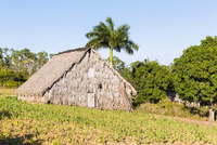 Young Tobacco Plants in Field by Tobacco Barn, Vinales National Park, Pinar del Rio Province, Cuba