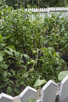 Green Tomatoes Growing in Community Garden, High Park, Toronto, Ontario, Canada