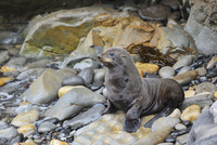 Young New Zealand Fur Seal (Arctocephalus forsteri) on Rocks, Shag Point, Otago Region, South Island, New Zealand
