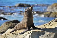 New Zealand Fur Seal (Arctocephalus forsteri) on Rocks, Half Moon Bay, Canterbury, South Island, New Zealand