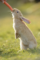 Close-up of seven week old Rabbit eating Carrot in Meadow in Spring, Bavaria, Germany