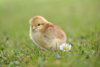 Close-up of Chick (Gallus gallus domesticus) in Meadow in Spring, Upper Palatinate, Bavaria, Germany