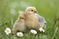 Close-up of Chicks (Gallus gallus domesticus) in Meadow in Spring, Upper Palatinate, Bavaria, Germany