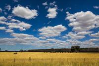 Cow in Field, Colac, Victoria, Australia