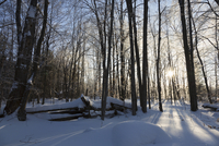 Sunrise through Forest after Ice Storm near Madoc, Ontario, Canada