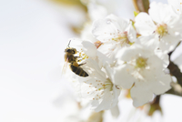 Close-up of European Honey Bee (Apis mellifera) on Wild Cherry (Prunus avium) Blossoms in Spring, Bavaria, Germany