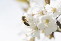Close-up of European Honey Bee (Apis mellifera) on Wild Cherry (Prunus avium) Blossoms in Spring, Bavaria, Germany