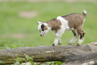 Close-up of domestic goat (Capra aegagrus hircus) kid, walking on an old tree trunk in spring, Bavaria, Germany