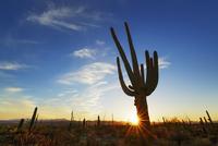 Silhouette of Saguaro cactus (carnegiea gigantea) at sunset, Tucson Mountain Park, Tucson, Pima County, Arizona, USA