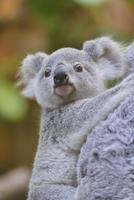 Close-up of young Koala (Phascolarctos cinereus) at zoo, Germany