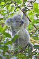 Young Koala (Phascolarctos cinereus) climbing in tree at zoo, Germany