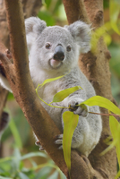 Portrait of young Koala (Phascolarctos cinereus) sitting in tree at zoo and looking at camera, Germany