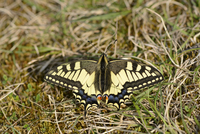 Close-up of a Old World Swallowtail (Papilio machaon) in a meadow in spring, Bavaria, Germany