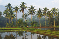 Palm trees and rice field near Borobodur, Kedu Plain, Java, Indonesia, Asia