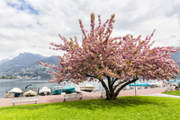 Blooming cherry tree at a promenade in front of Lago Lugano in spring, Switzerland
