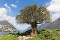 Old olive tree and lavender bushes on the promenade in front of Monte Bre in spring, Lago Lugano, Switzerland