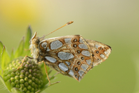 Close-up of Lesser Marbled Fritillary (Brenthis ino) on Blossom in Meadow in Spring, Styria, Austria