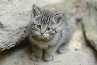 Close-up of European Wildcat (Felis silvestris silvestris) Kitten in Forest in Spring, Bavarian Forest National Park, Bavaria, G