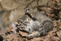 Close-up of European Wildcat (Felis silvestris silvestris) Kitten in Forest in Spring, Bavarian Forest National Park, Bavaria, G