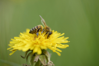 Close-up of European Honey Bee (Apis mellifera) on Common Dandelion (Taraxacum officinale) Blossom in Meadow in Spring, Bavaria,