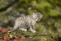 European Wildcat (Felis silvestris silvestris) Kitten in Forest in Spring, Bavarian Forest National Park, Bavaria, Germany
