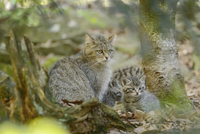 Portrait of European Wildcat (Felis silvestris silvestris) Mother with Kittens in Forest in Spring, Bavarian Forest National Par