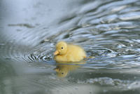 Close-up of a Long Island duck (Anas platyrhynchos domestica or Anas peking) chick in spring, Bavaria, Germany
