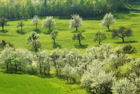Overview of cherry trees (prunus) in bloom in orchard on a sunny day in spring, Aarau, Aargau, Switzerland