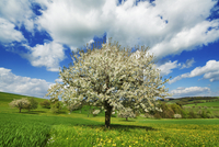 Cherry tree (prunus) in bloom in orchard on sunny afternoon in spring, Sissach, Basel-Landschaft, Switzerland