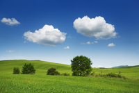 Farmland, barley field (hordeum vulgare) and cumulus clouds, San Quirico d'Orcia, Val d'Orcia, Siena, Tuscany, Italy