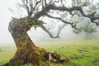 Tree in laurel forest (Laurisilva) in fog in afternoon, Fanal, Madeira, Portugal