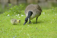 Close-up of Canada Goose (Branta canadensis) Mother with Gosling on Meadow in Spring, Bavaria, Germany