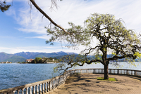 Tree with Fresh Leaves on Promende in Spring with Isola Bella in thebackground, Borromean Islands, Stresa, Lago Maggiore, Piedmo