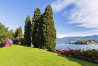 Blooming Rhododendron and Conifers by Promenade in Spring with Isola Bella in the background, Borromean Islands, Lago Maggiore,