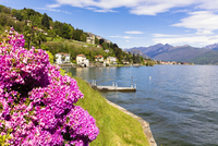 Blooming Rhododendron in Spring with Feriolo in the distance, Lago Maggiore. Piedmont, Italy