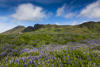 Scenic view of spring lupins in field with church on mountain side in background, Vik, Iceland
