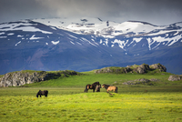 Icelandic horses in pasture with mountains in the background, at Hofn, Iceland