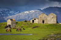 Icelandic horses in pasture with abandoned buildings and mountains in the background, at Hofn, Iceland