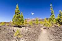 Hiking path by lava field with some Canary Island pines (Pinus canariensis) in front of Mount Teide, UNESCO World Heritage Site,