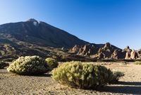 Desert vegetation, Los Roques and Mount Teide at Llano de Ucanca, UNESCO World Heritage Site, Teide National Park, Tenerife, Can