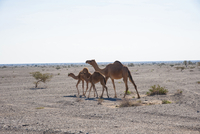 Camel with Two Calves in Desert, near Nizwa, Adam and Ibra, Oman