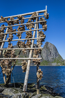 Drying Cod Fish Heads, Sakrisoy, Moskenesoya, Lofoten Archipelago, Norway