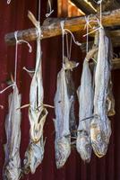 Dried Cod Fish, Sund, Flakstad, Flakstadoya, Lofoten Archipelago, Norway