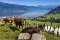 Dairy Cows, Utvik, Sogn og Fjordane, Norway