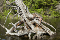 Snapping Turtle Sunbathing on old Tree Stump, Driftwood Bay, Smoke Lake, Algonquin Provincial Park, Ontario, Canada